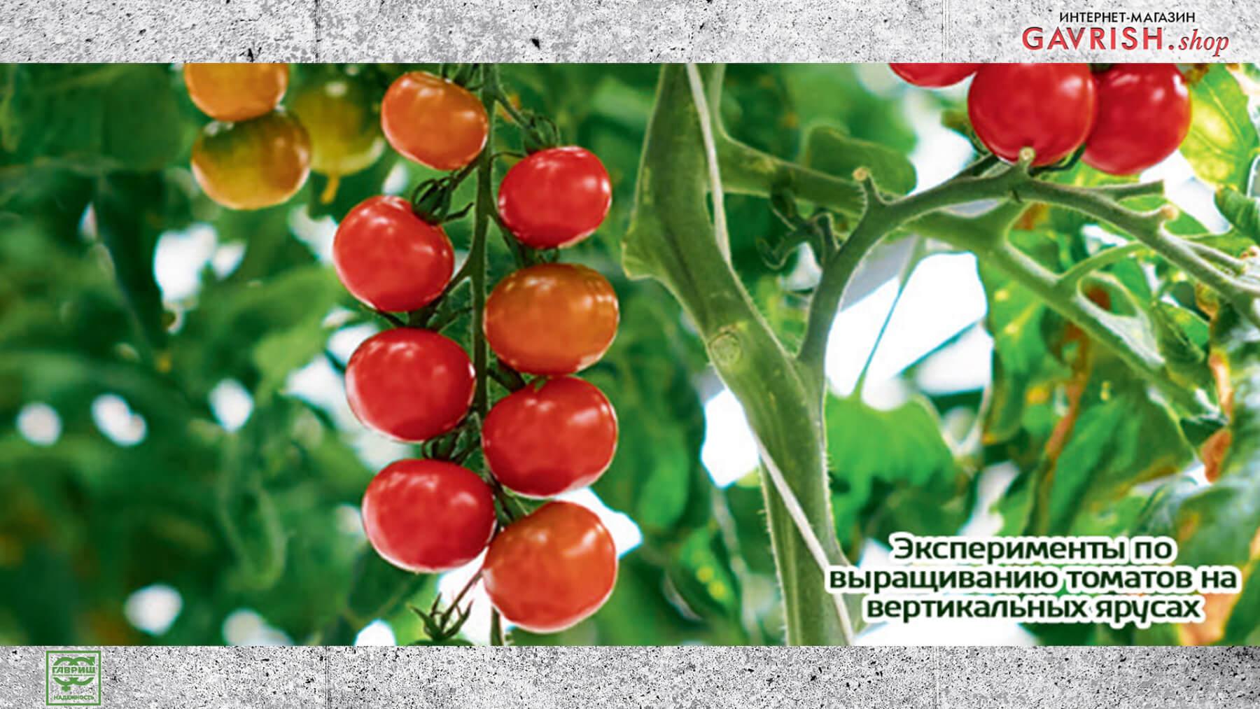 Эксперименты по выращиванию томатов на вертикальных ярусах. Фото: Ника Селезнева